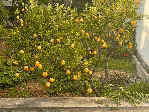 naranjos-soller-mallorca